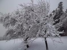 Větve sepod náporem sněhu trochu ohýbaly 10.2. 2016